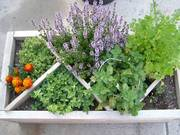 1 1/2 x 3 ' herb box with dividers and some perennial herbs included