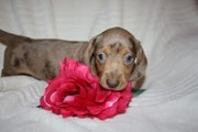 ADORABLE MINI DACHSHUND PUPS READY NOW