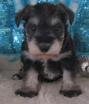 CKC  Miniature Schnauzer puppies for sale