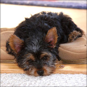 Cute little yorkshire terrier puppy