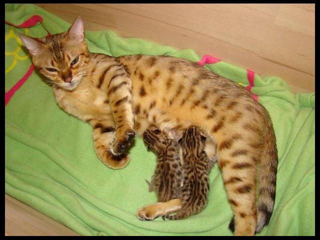 Bengal Cat Adoption Calgary